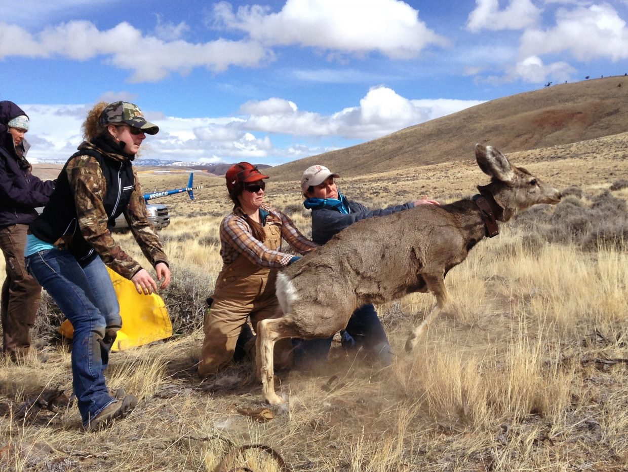 A mule deer is released near Dubois, Wyo., during the 2016 Eastern Greater Yellowstone Mule Deer Project, a collaboration between WMI, the Wyoming Chapter of the Nature Conservancy, and Wyoming Game and Fish Department.