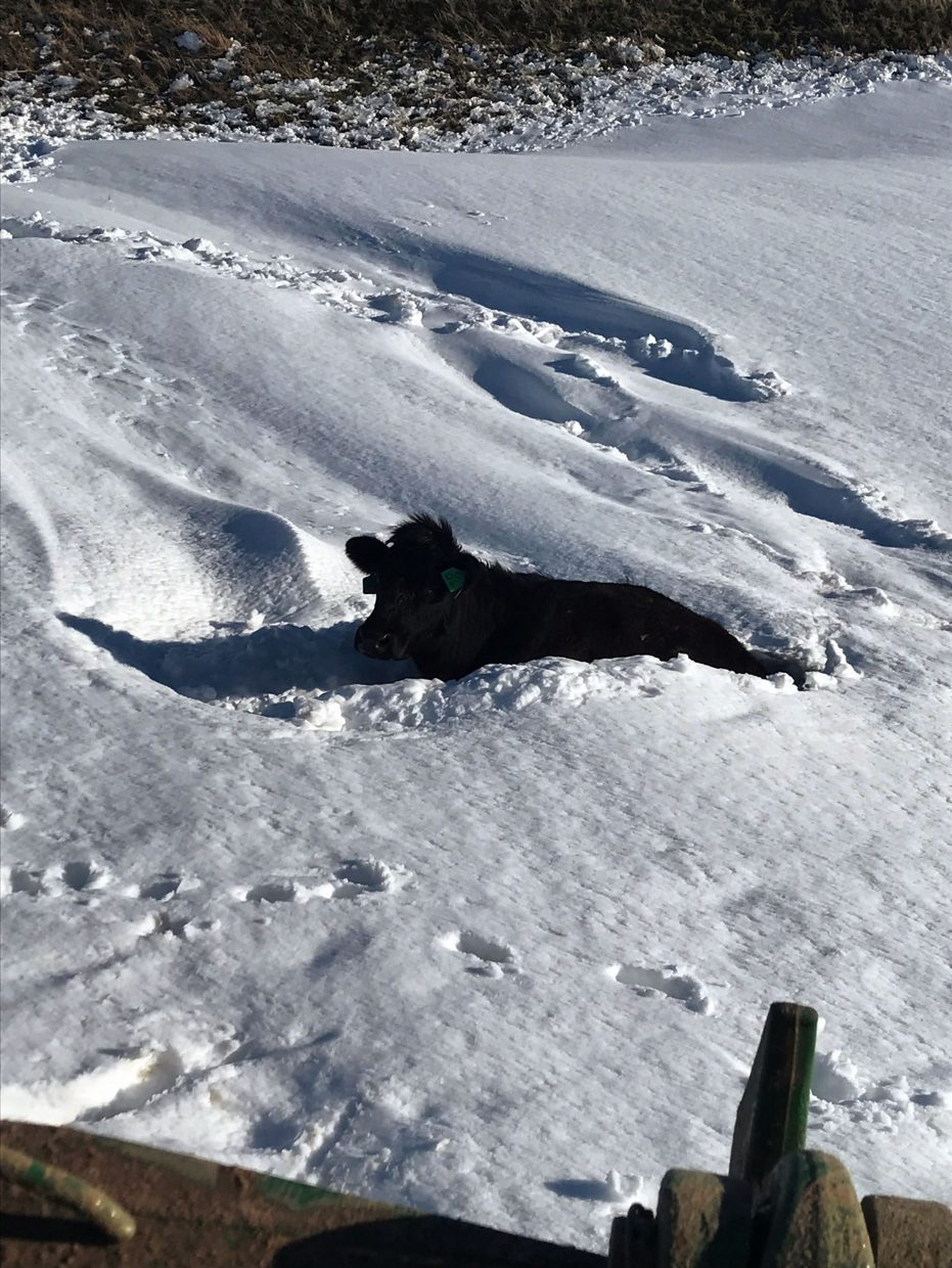 The drifts were deep enough to trap mature cows though just beyond drifts, dry ground was exposed.