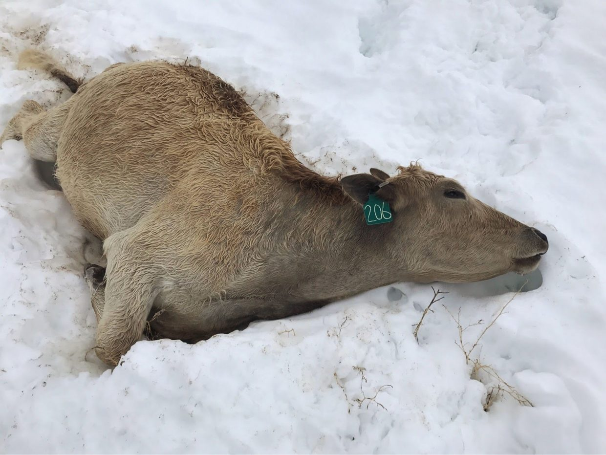 One of the cows found dead following the Baca County, Colo., blizzard. The losses are still being counted as ranchers continue to search by ground and air.