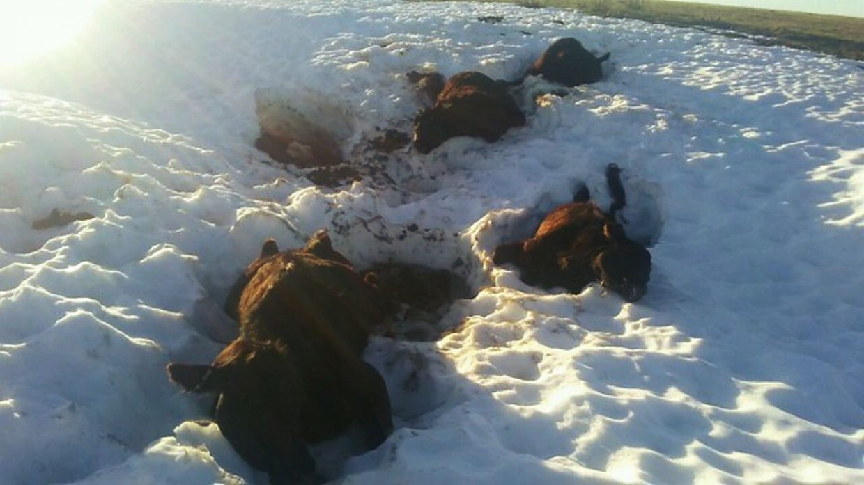 Cows lie dead in the creek that runs through Chase Trahern's ranch. A young cattleman, Trahern plans to run yearlings to recoup cow losses in his first winter.