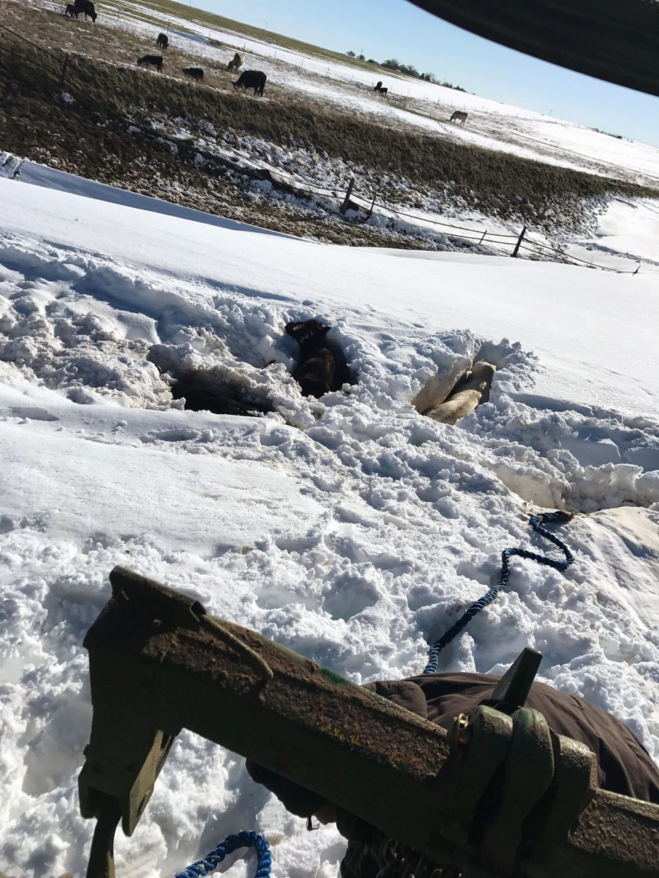 Austin Schroder, Campo, Colo., used a loader and chains to dig several cattle out of drifts that trapped them.