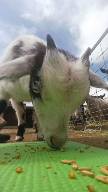 A purebred, miniature Tennessee fainting goat inspects food pellets on a yoga mat during a goat yoga session June 11 at Barnyard Buddies, 3650 N Larimer County Road 3 in Loveland.
