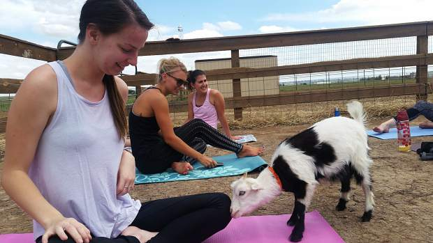 Greeley Tribune copy editor Casey Hutchins, left, smiles as a purebred, miniature Tennessee fainting goat sniffs her during a goat yoga session June 11 at Barnyard Buddies, 3650 N Larimer County Road 3 in Loveland.