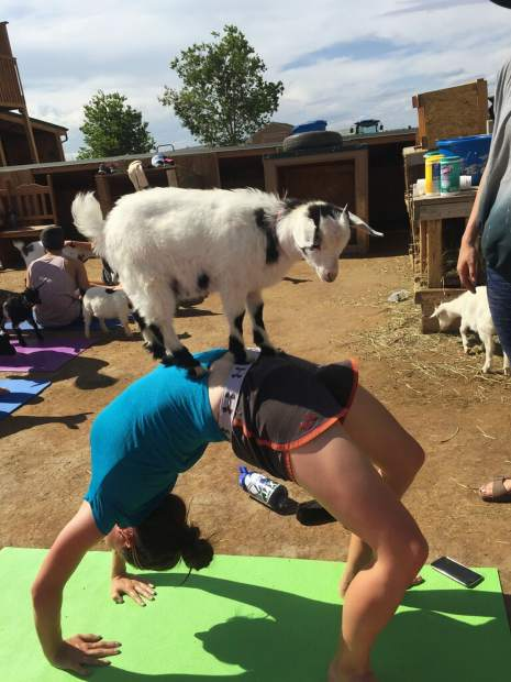 Greeley Tribune features reporter Kelly Ragan moves into a back bend pose as a purebred, miniature Tennessee fainting goat stands on her stomach during goat yoga June 11 at Barnyard Buddies, 3650 N Larimer County Road 3 in Loveland.