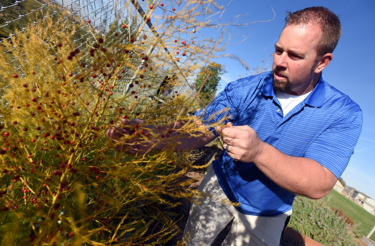 Andy Klatt pulls one of the branches of the plants in the student garden at Grandview Elementary in Windsor. Klatt, a physical education teacher at Grandview, also gives his time to implementing agricultural themes to the school's curriculum.