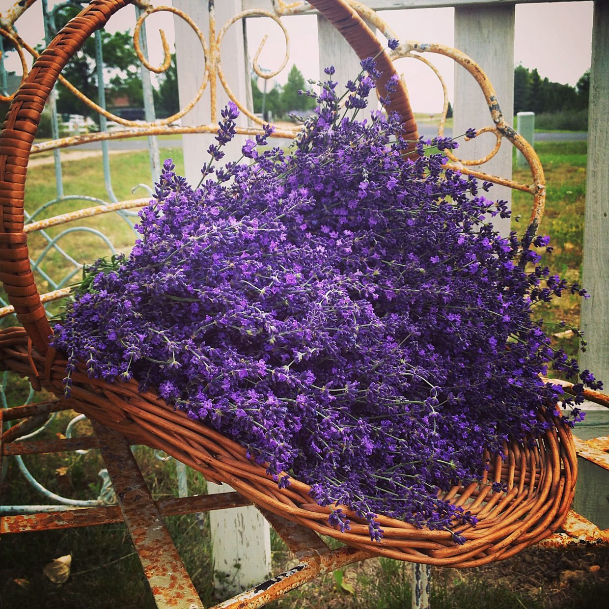 Bright purple, aromatic lavender in a basket entices browsers at festivals where the Perry family markets some of their products.