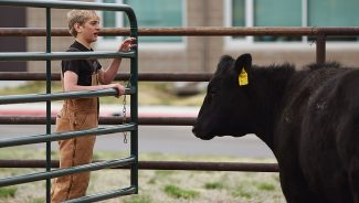 Students get hands-on artificial insemination training in New Raymer, Colo.