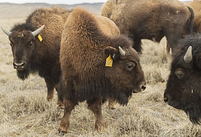 It S A Girl First Ivf Bison Calf Joins Northern Colorado Herd