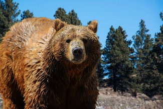 Increasing wolf, grizzly bear populations present challenges for ranchers, hunters