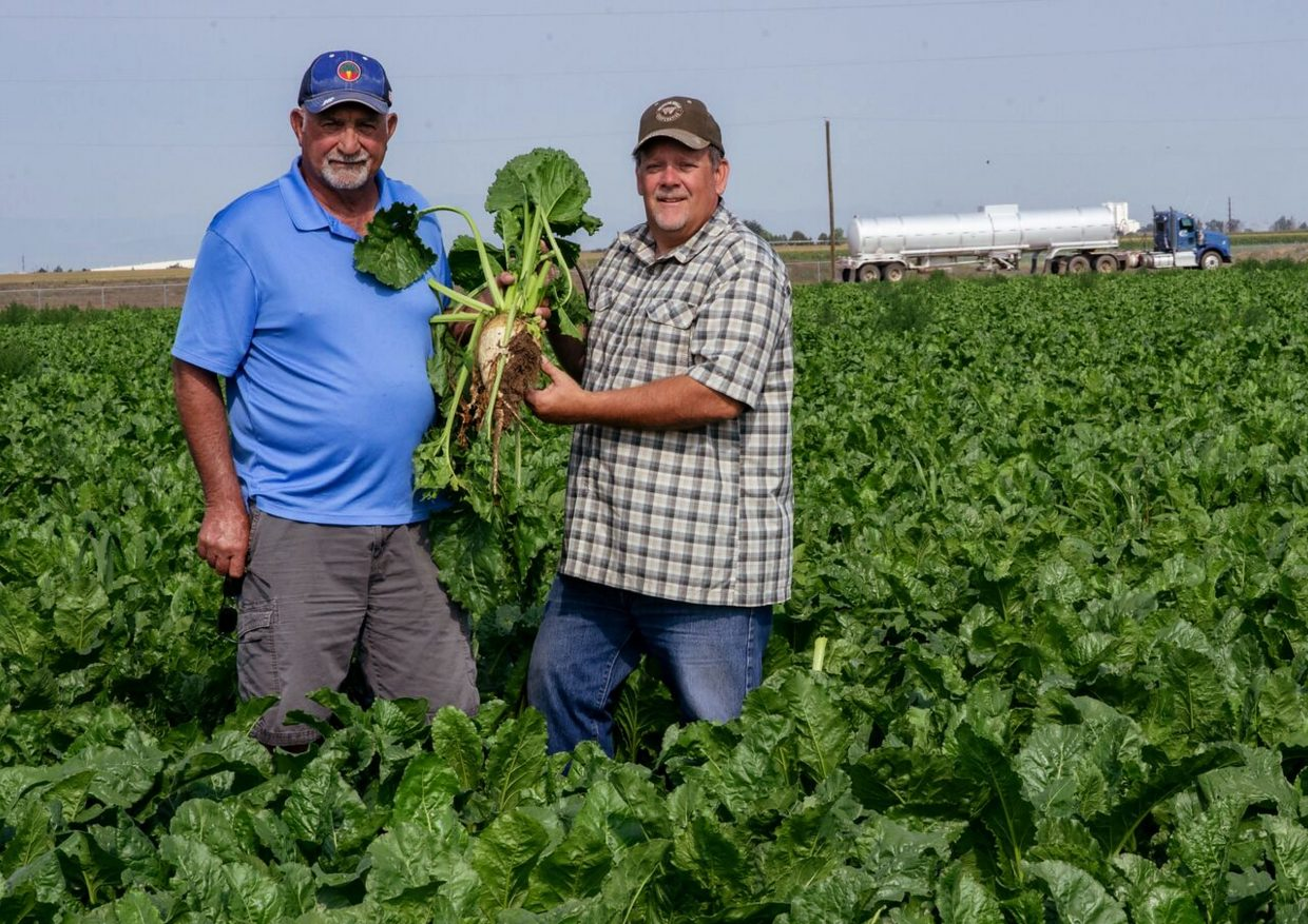 Perry Weideman and Mike Otto in Weideman's sugar beet field north of Greeley, Colo.