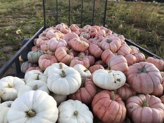 Porcelain Doll pumpkin variety is bringing used to fund benefit breast cancer research