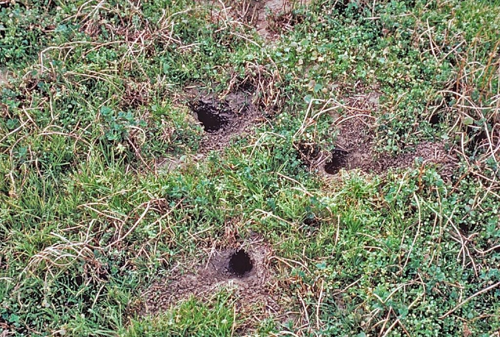 Controlling burrowing rodents