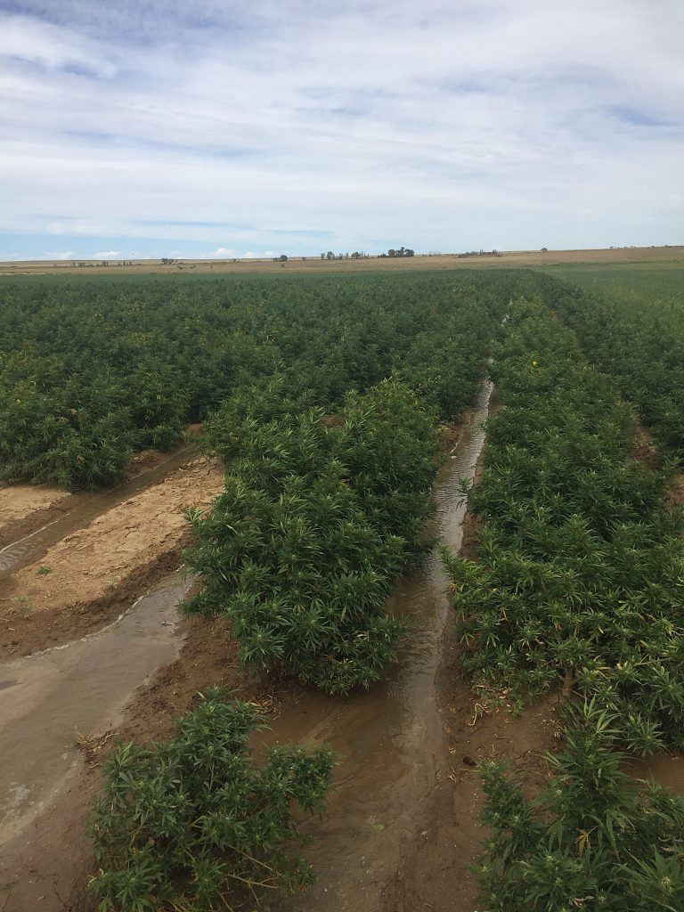 Hemp is changing the value of farm ground | TheFencePost com